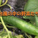 アイキャッチ画像_台風の中の野菜たち