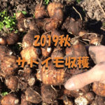 アイキャッチ画像_2019秋サトイモ収穫
