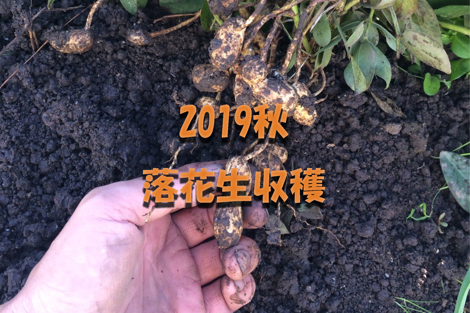 アイキャッチ画像_2019秋落花生収穫